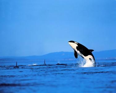 虎鲸跳出水面