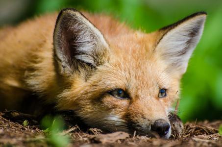 狐狸与一个悲伤的脸躺在干草地上