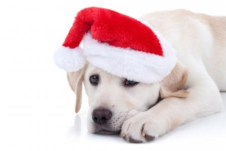 一只金毛猎犬的小狗在一顶红色帽子的在白色背景的新年