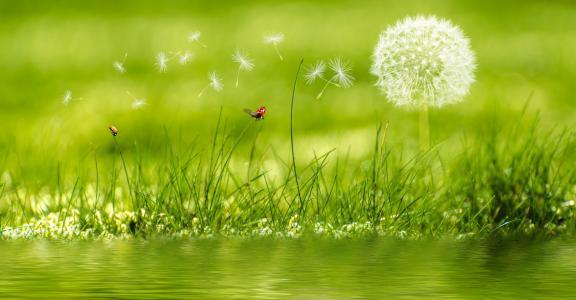与在水附近的绿草的白色蒲公英