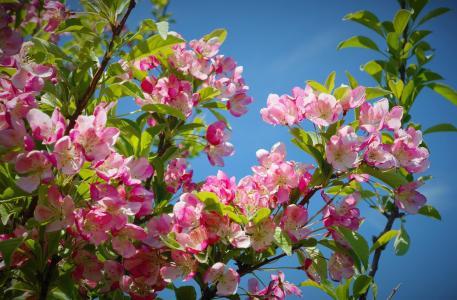 淡雅的海棠花