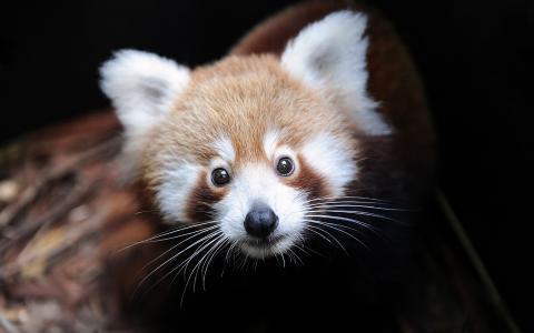 小胡子,枪口,熊猫,耳朵,小熊猫
