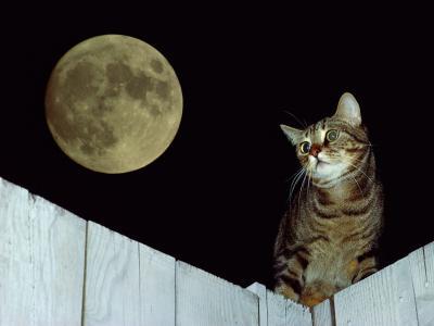 猫在月光下的篱笆上