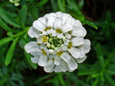 在花园里有美丽的花Iberis