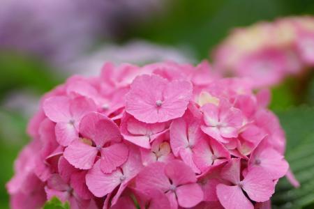 在花园里有绣球花的美丽的花朵
