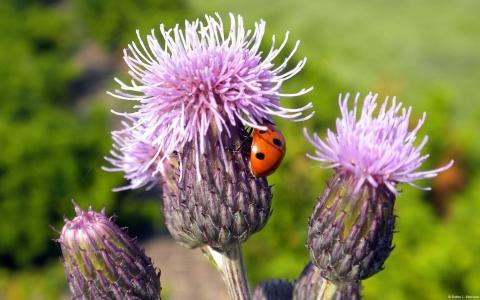 在杂草花的瓢虫