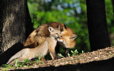 狐狸的家庭
