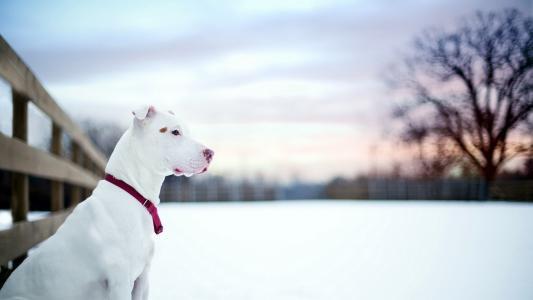 白色的斗牛在雪地里