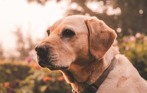 狗品种金毛猎犬的伤口枪口