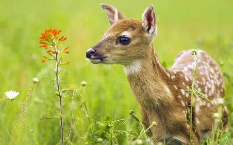 驯鹿在草地上