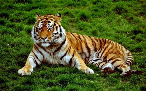 一只阴沉的老虎躺在绿色的草地上