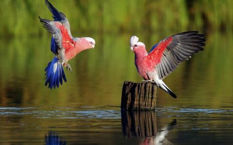 在水中的树桩上的鹦鹉