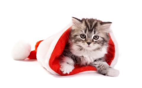 在圣诞老人帽子的银色小猫圣诞节的
