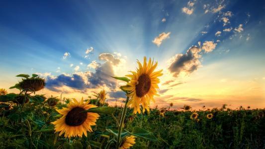 向日葵以夏天云彩为背景