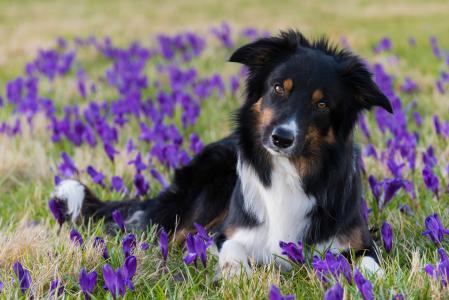 狗躺在草地上的番红花