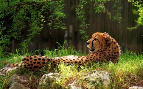 猎豹在草地上