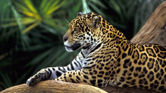 捷豹在亚马逊丛林