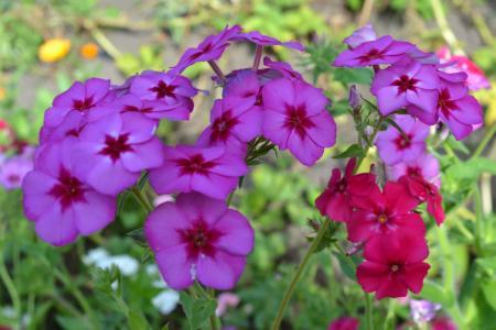 福禄考美丽的花朵在森林里