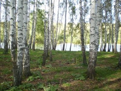在湖边的桦树树丛