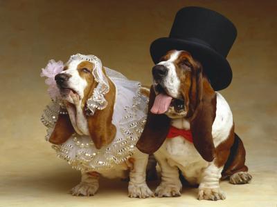 短腿猎犬,新娘和新郎