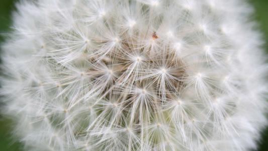 美丽的kozloborodnik(大蒲公英)花