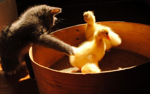 小猫和小鸭子