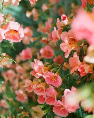 鲜艳美丽的凌霄花