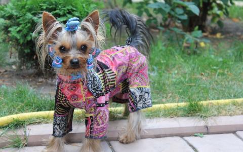 一只穿着时髦的衣服的狗