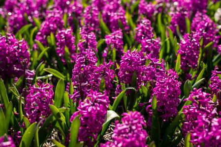 在花圃上的紫色花风信子
