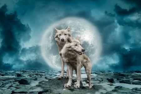 两只白狼在天空背景下的一个大月亮