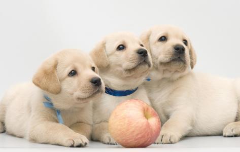 一只金毛猎犬与苹果的三个有趣的小狗