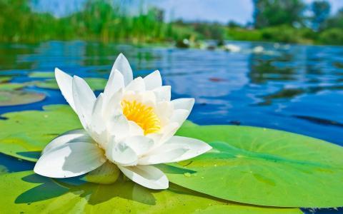 在湖上的白莲花