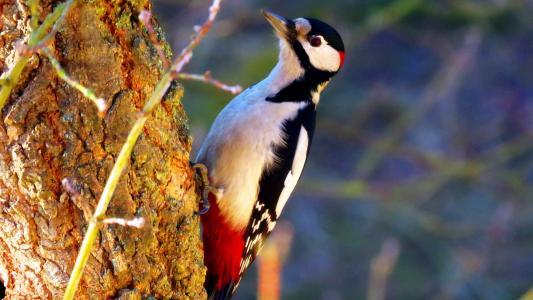 森林医生大斑啄木鸟