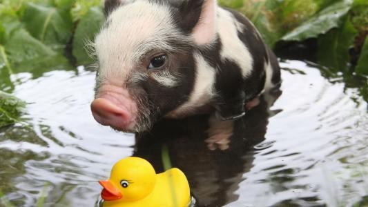 小猪和橡皮鸭