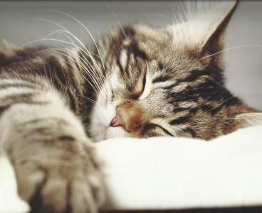 一只漂亮的小猫正在睡觉