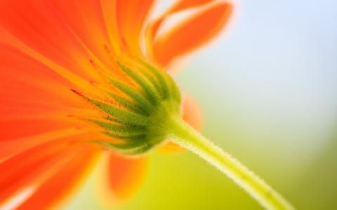 橙色的花蕾