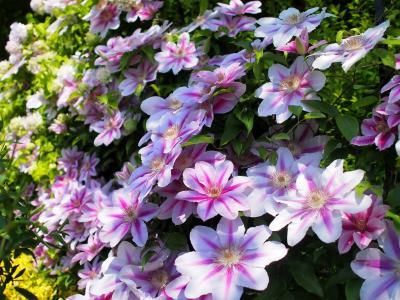 美丽的铁线莲在公园里开花