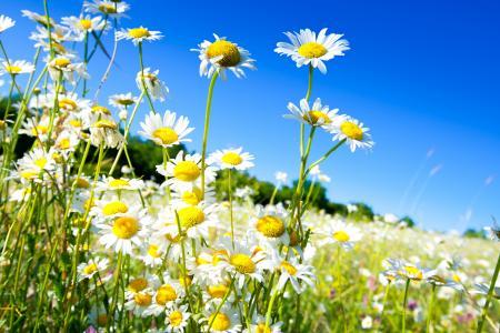 美丽的白色夏天雏菊在蓝蓝的天空背景上