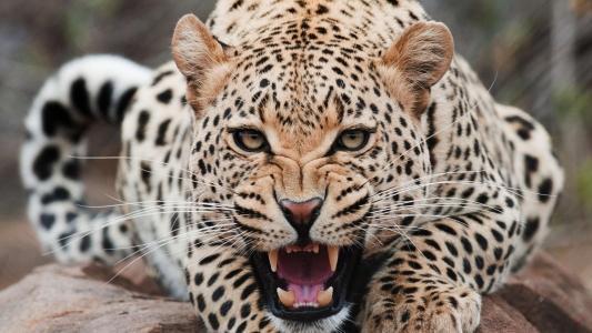 愤怒的美洲虎露出了牙齿