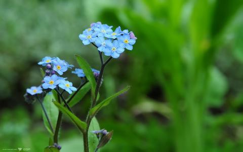 勿忘我美丽的花朵