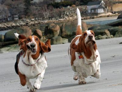 有趣的短腿猎犬跑