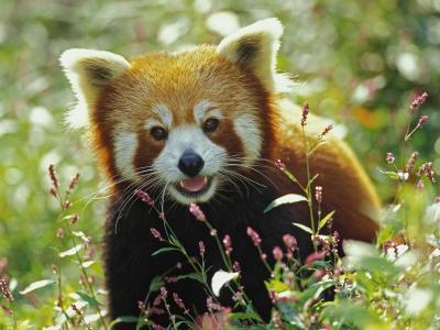在草地上的红熊猫