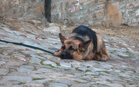 德国牧羊犬在笼子里