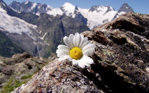 洋甘菊在山上