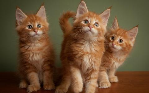 三个红色蓬松的小猫