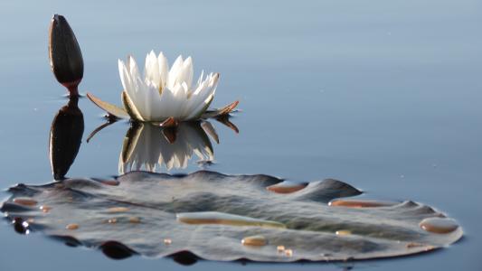 白色精美莲花在池塘里
