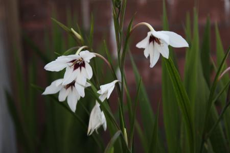 美丽的白花azidantera