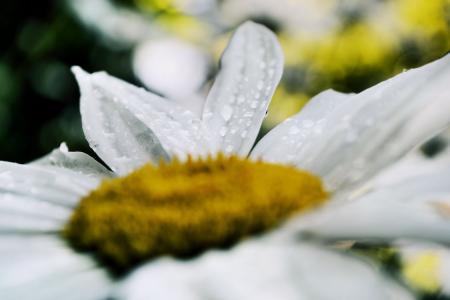 雨后的白菊花