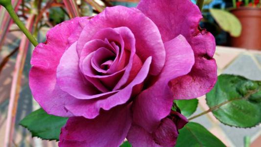 伟大的紫色玫瑰