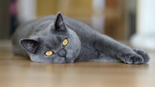 英国猫躺在地板上